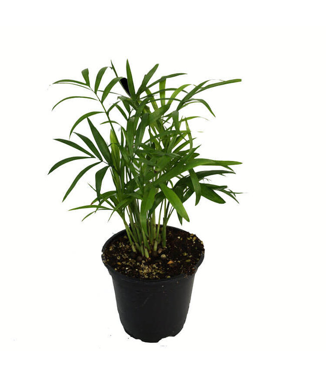 Palm, 4 in