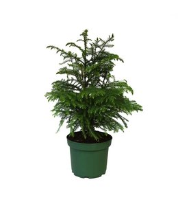 Norfolk Pine, 6 in
