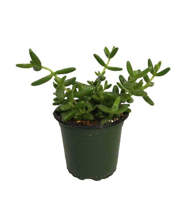 "Pickle Plant, 4"""