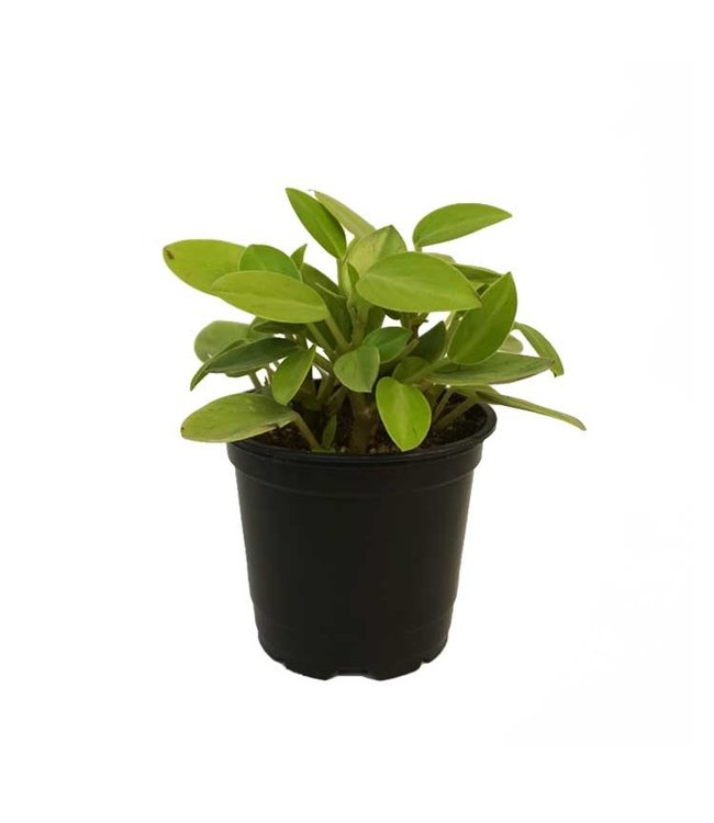 Peperomia, Pixie Lime 4 in