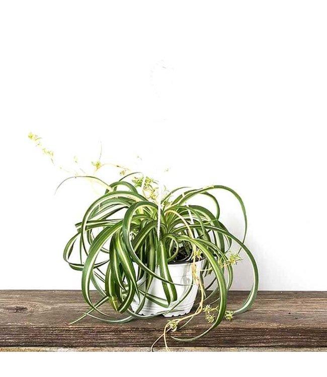 Spider Plant, Hanging Basket 8 in