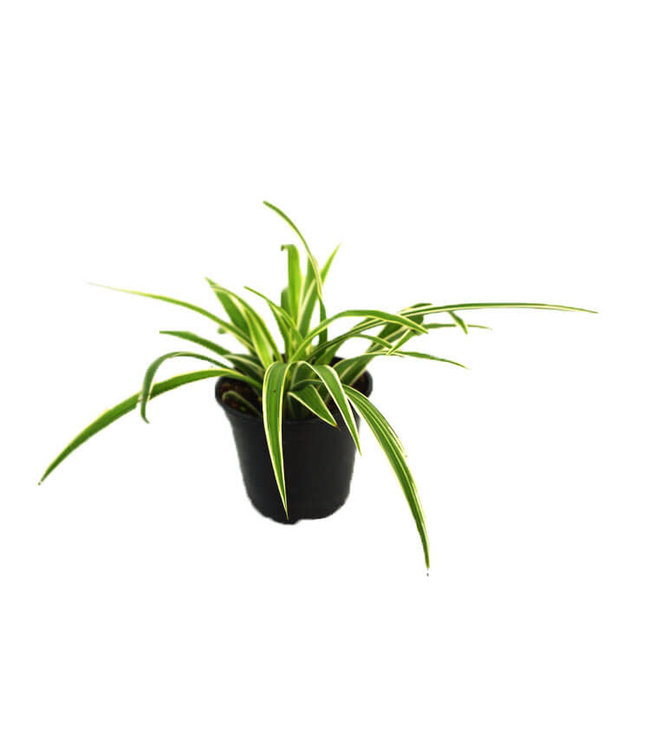 Spider Plant, 4 in