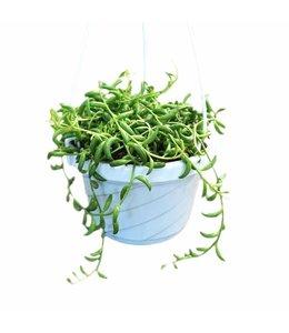 String of Beans 6in Hanging Basket