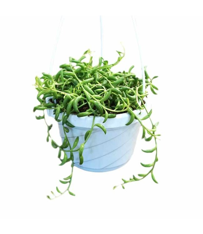 """String of Beans 6"""" Hanging Basket"""