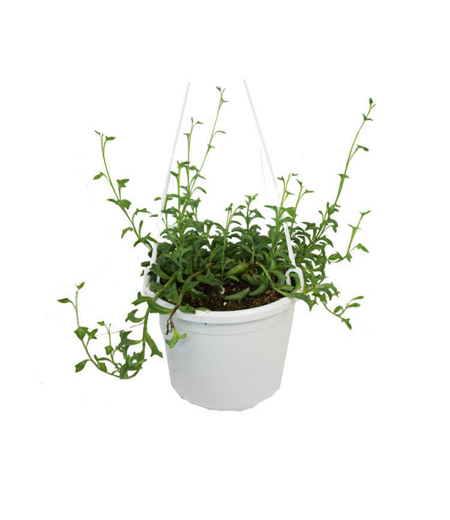 "String of Dolphins 6"" Hanging Basket"