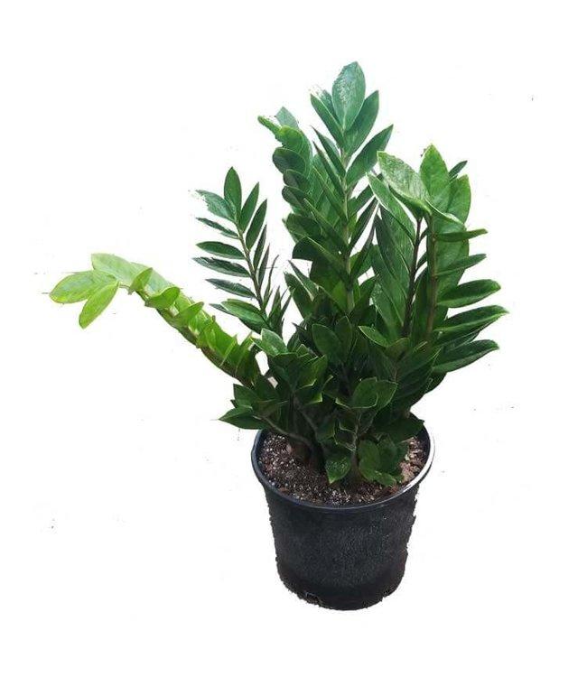 Zamioculcas ZZ Plant,  2 Gal