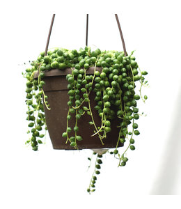 """String of Pearls 6"""""""