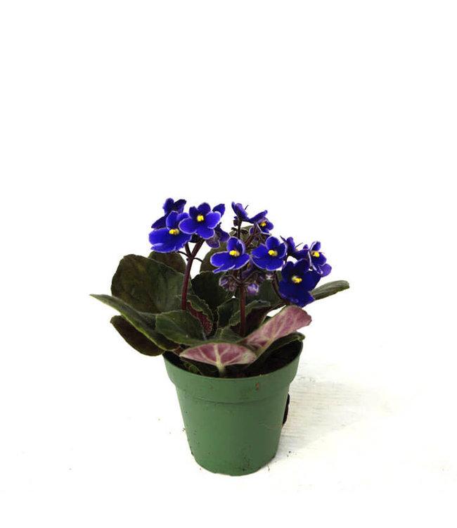 African Violet, 4 in