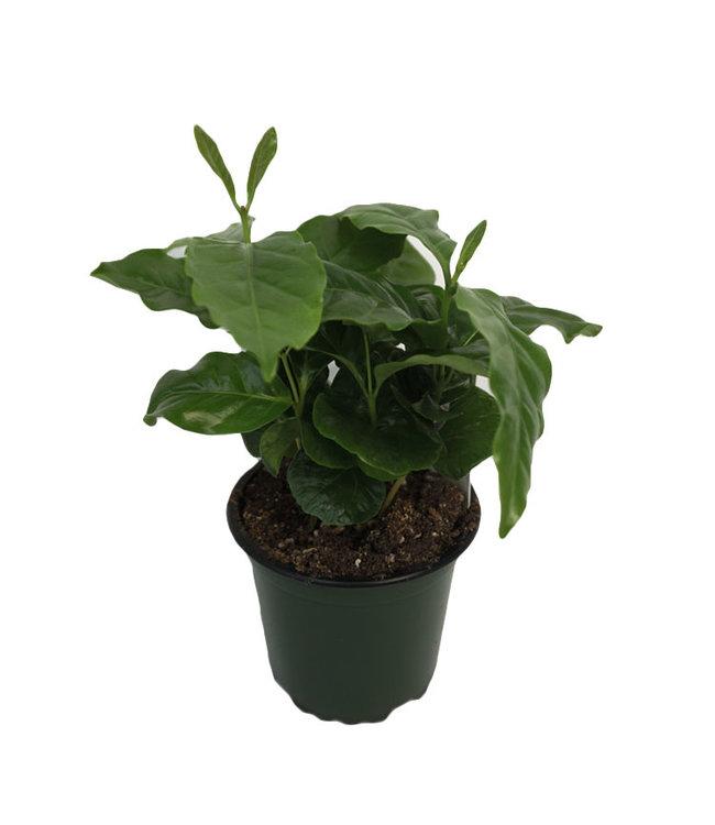 "Coffee Plant, 4"""