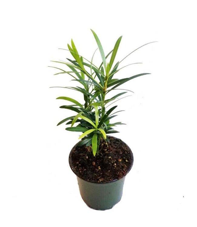 Buddhist Pine 4 in