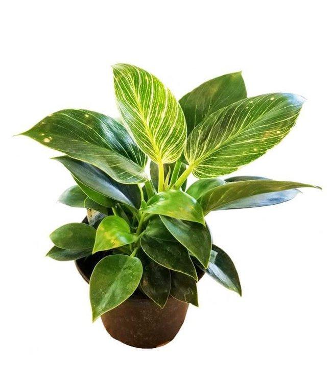 Philodendron, Birkin 6 in