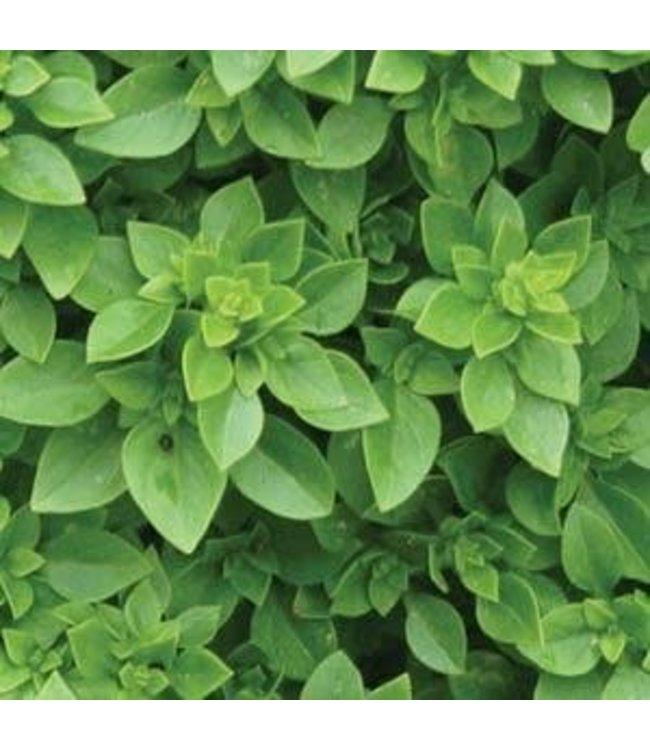 Herb, Basil Boxwood 4 in