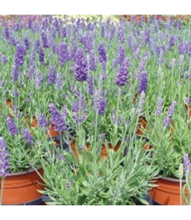 Lavender, Lavance Purple #1