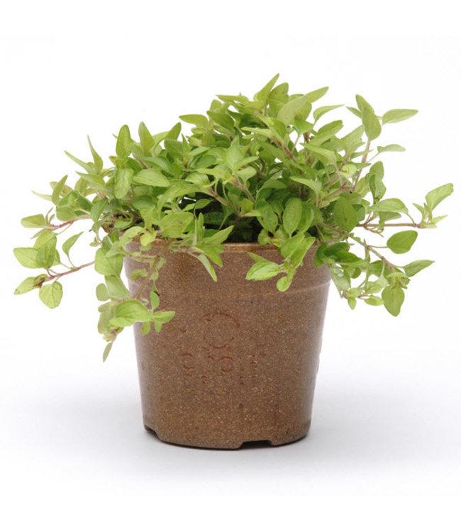 Herb, Oregano Golden Green 4 in