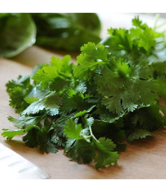 Herb, Cilantro Santo