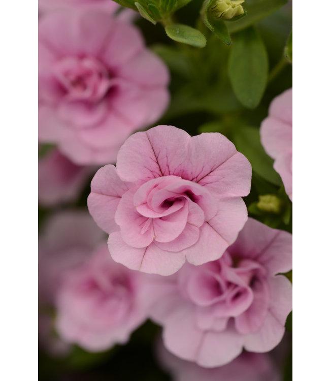 Calibrachoa, MiniFamous Uno Pink