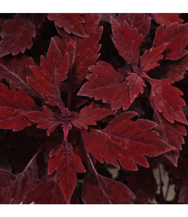 Coleus , Flame Thrower Salsa Roja 4 in