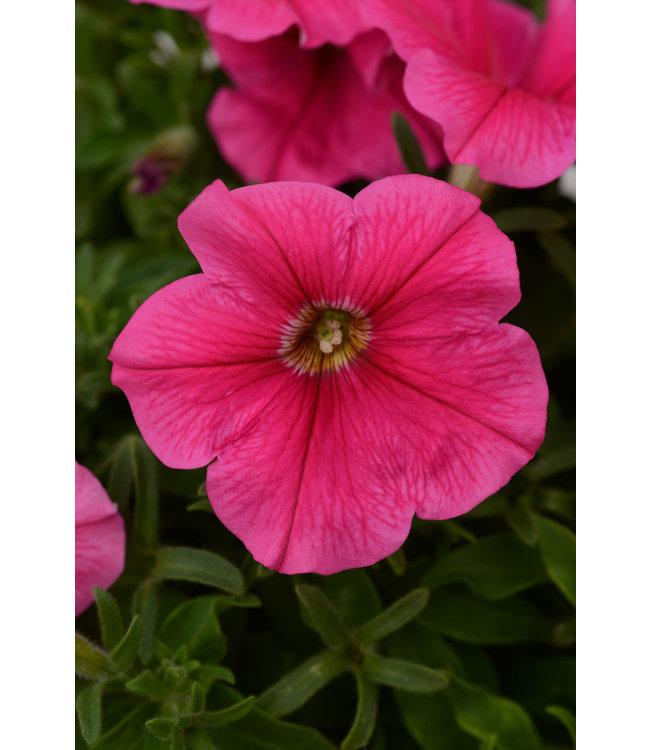 Petunia, Starlet Dark Pink 4 in
