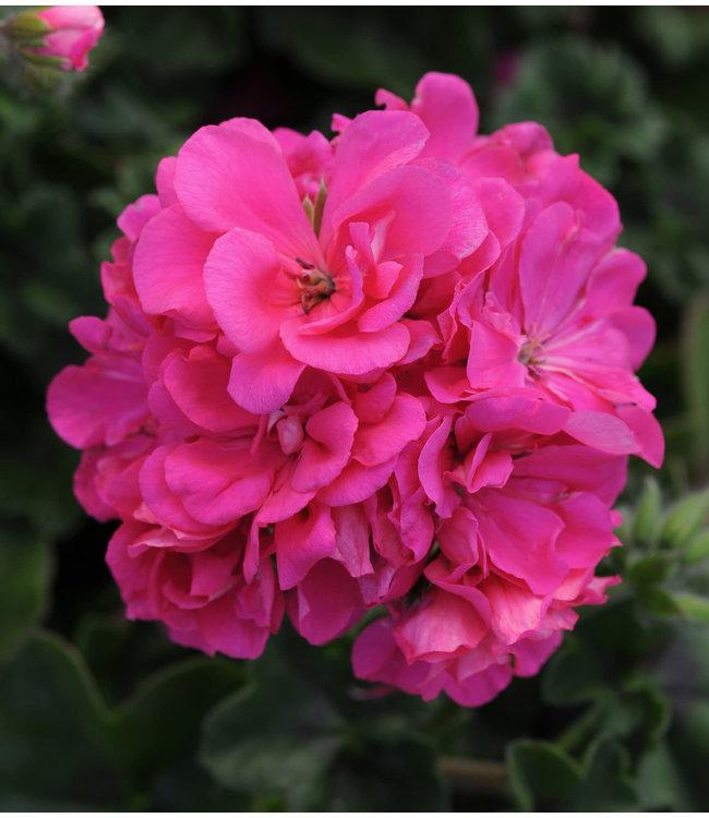 Geranium Ivy, Focus Rose 4 in