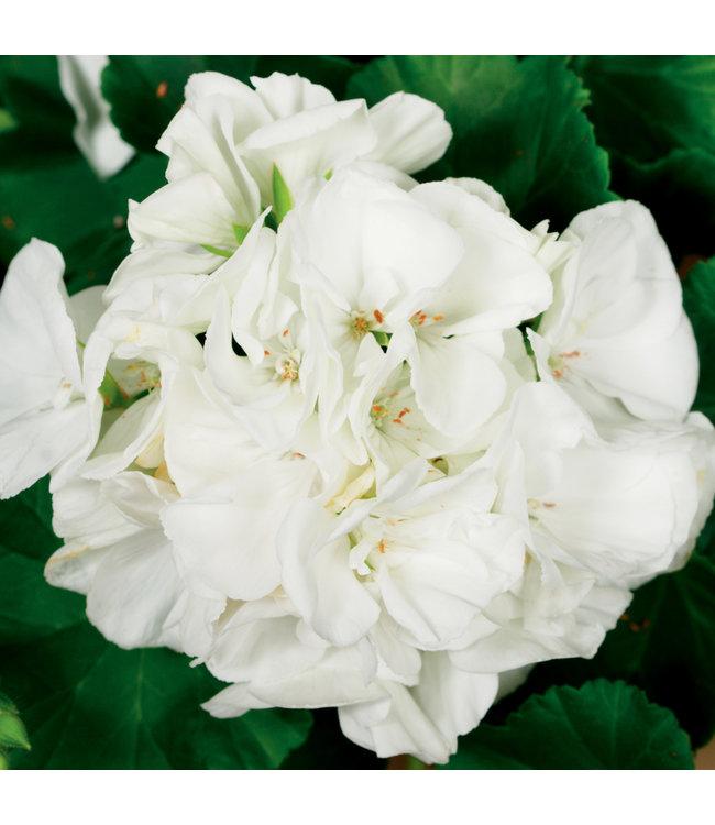 Geranium, White Zonal 4 in