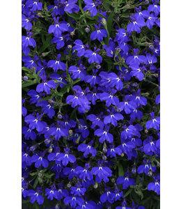 Lobelia, Early Spring Dark Blue 4 in