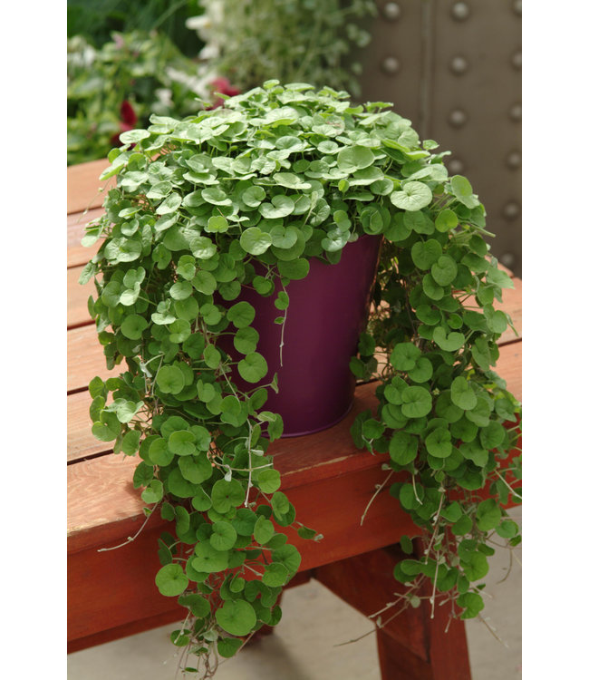 Dichondra, Emerald Falls 4 in
