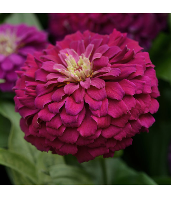 Zinnia, Zesty Purple #1