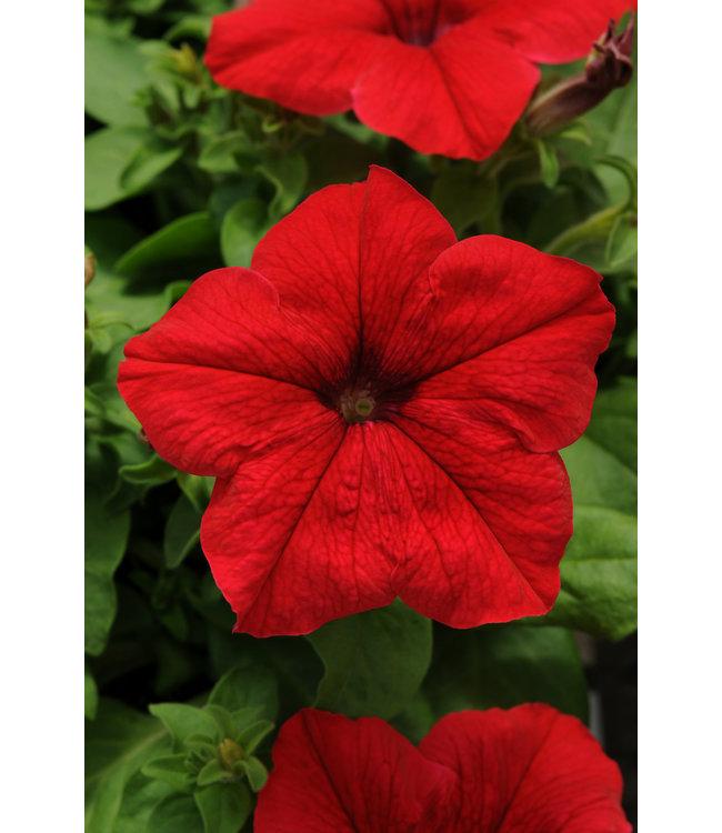 Petunia, Pretty Grand Red 6-pak