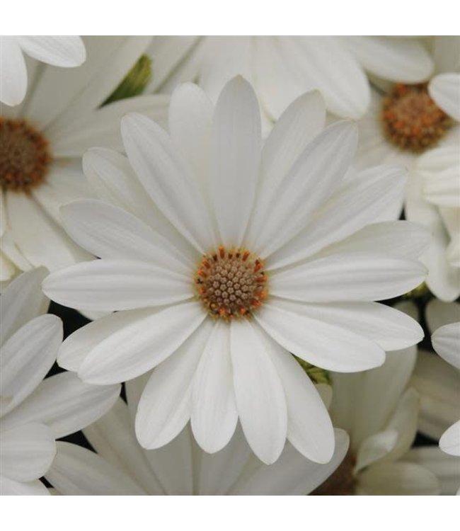 Osteospermum, Akila Daisy White 4 in