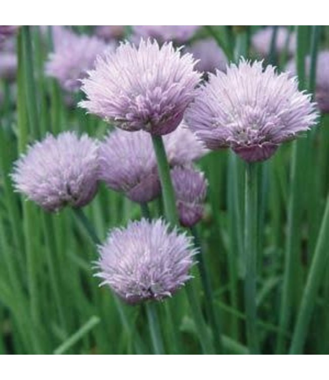 Herb, Chives Onion 4 in