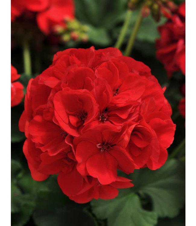 Geranium, Red & Scarlet Zonal 4 in
