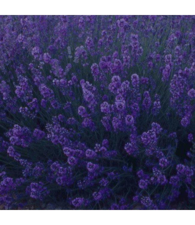 Lavender, Munstead 4 in