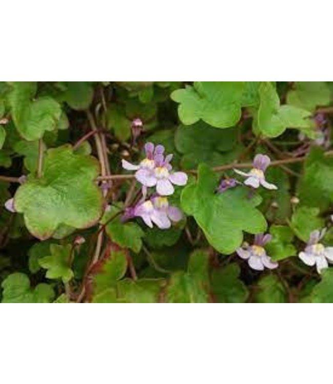 Cymbalaria Muralis, Kenilworth Ivy 4 in