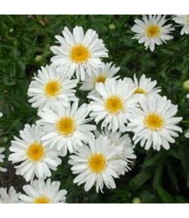 Shasta Daisy, White #1