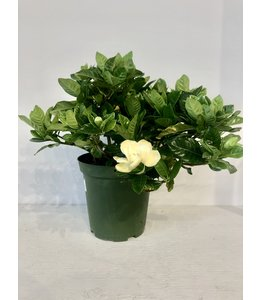 Gardenia, 6in