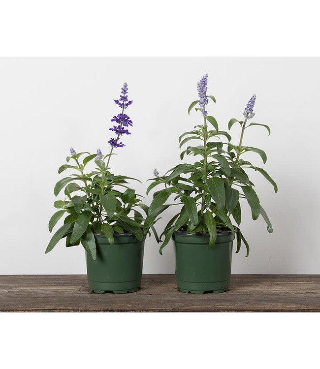 Salvia, Blue 4 in