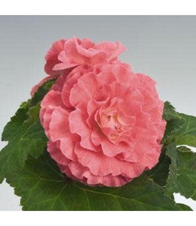 Begonia, Nonstop Pink 4 in