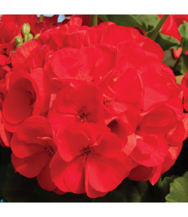 Geranium, Red & Scarlet Zonal 6 in