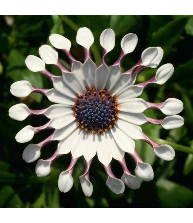Osteospermum, FlowerPower Spider White #1