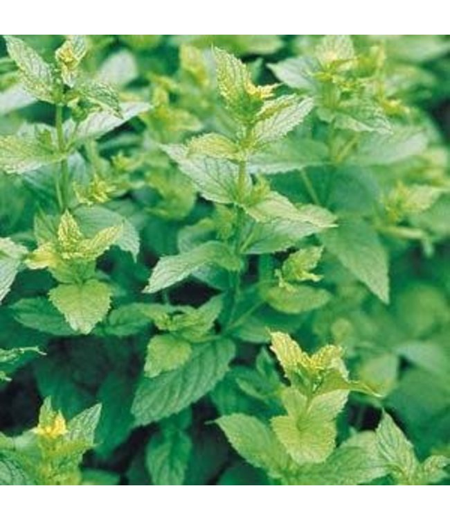 Herb, Mint Peppermint 4 in