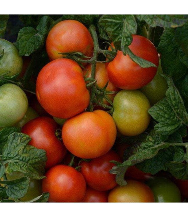 Tomato, Little Sicily 4 in