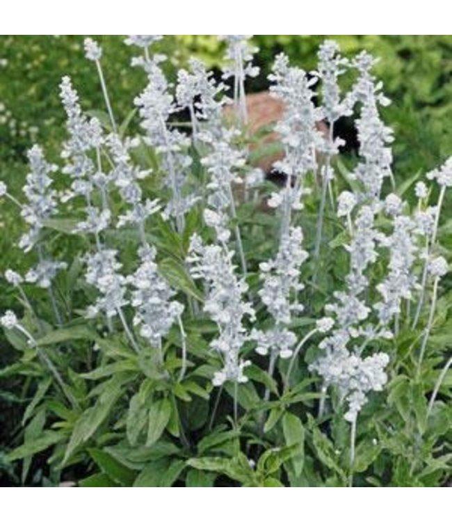 Salvia,  Evolution White 4 in