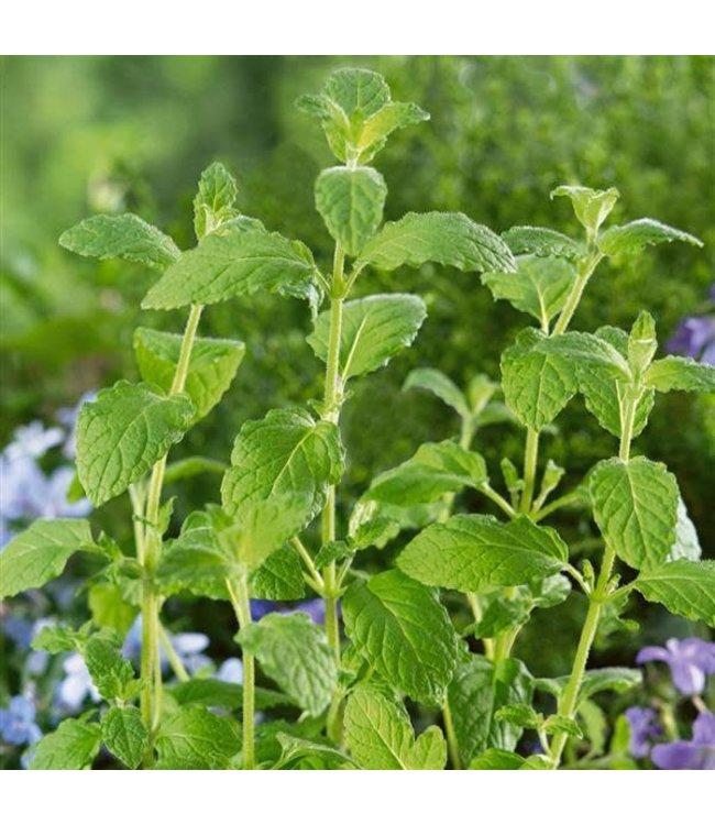 Herb, Mint 4 in