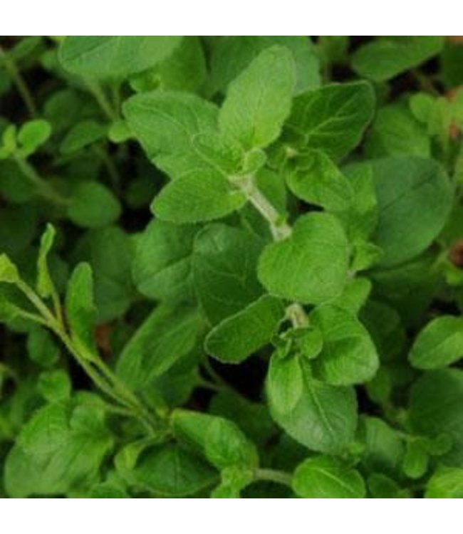 Herb, Oregano 4 in