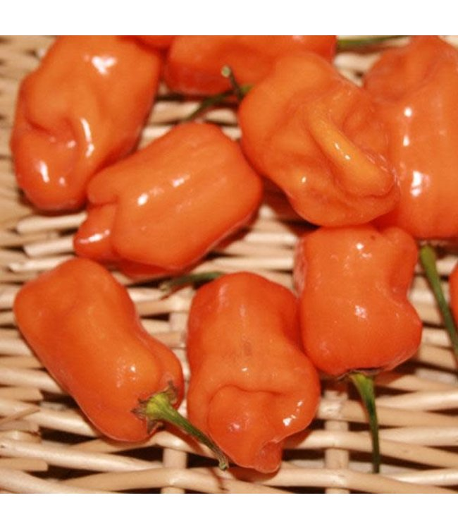 Pepper, Habanero Orange 4 in