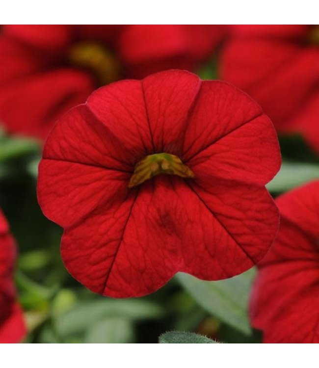 Calibrachoa, Cabaret Bright Red 4 in