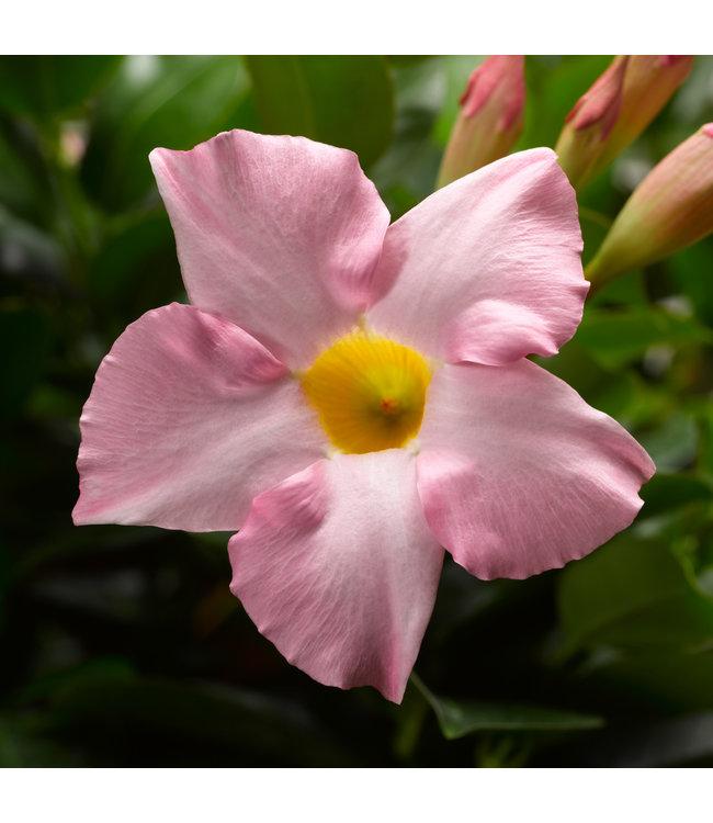 Mandevilla, Madinia Pink