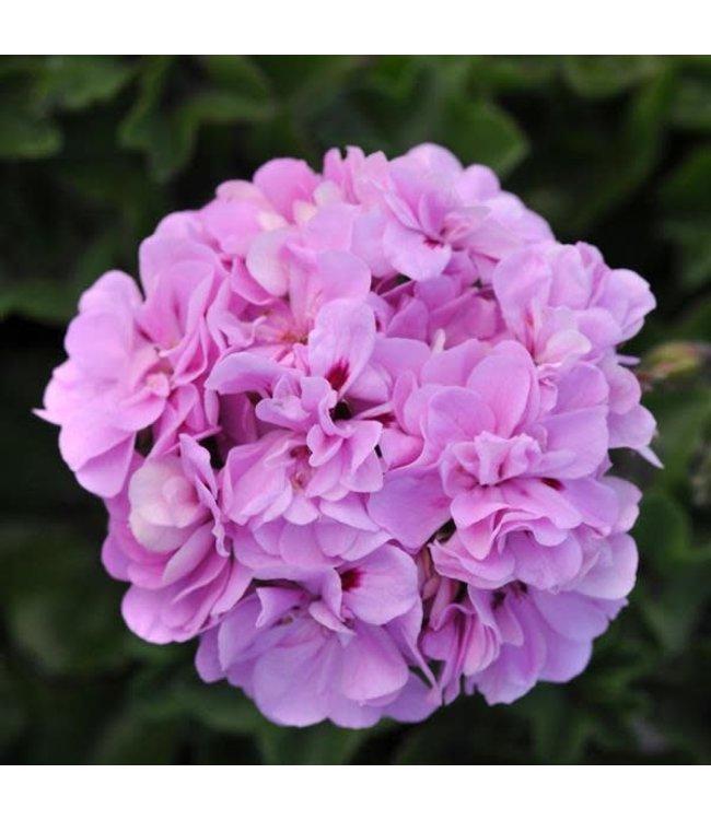 "Basket, 12"" Geranium Purple"