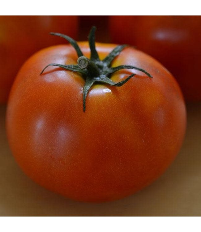 Tomato, Red Racer 4 in