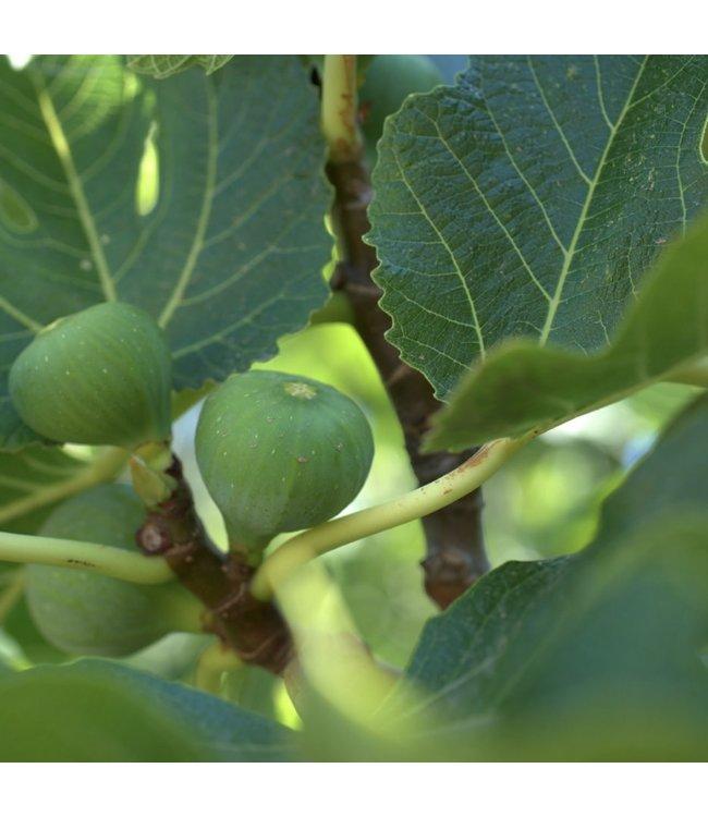 Edible Fig #1